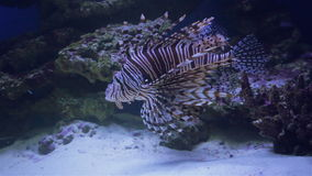 Fish in aquarium. Underwater, Underwater World, corals and beautiful fish stock video