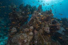 Fish and aquatic life in the Red Sea. Stock Photos