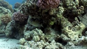 Fish Arabian Picasso triggerfish Rhinecanthus assasi underwater of Red sea. Balistidae marine animals in Egypt stock video footage