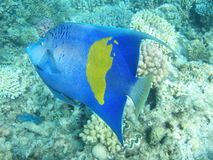 Fish - Arabic angel. Dark blue fish the Arabic angel with a yellow spot in the Red sea, Egypt, submarine survey, corals stock images