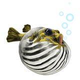 Fish arothron bubble sketch vector. Fish arothron bubble inflated sketch vector graphics color picture Royalty Free Stock Photo