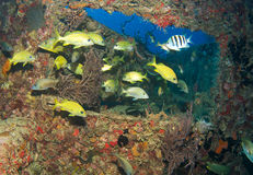 Fish on an artificial reef Royalty Free Stock Image