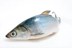 Fish Asian sea bass. Fresh Asian Sea Bass in isolated white background Royalty Free Stock Photography