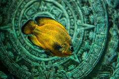 Fish Astronotus Stock Photo
