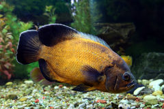 Fish of Astronotus ocellatus close up Royalty Free Stock Images