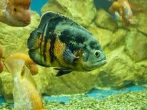 Fish Astronotus Ocellatus Stock Photography