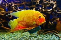 Fish Astronotus Royalty Free Stock Image