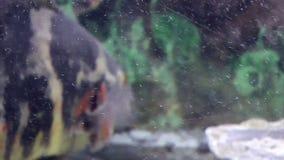 Fish, Astronotus stock footage