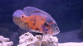 Fish, Astronotus stock video footage