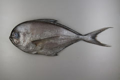 Fish. Atlantic pomfret Royalty Free Stock Photo