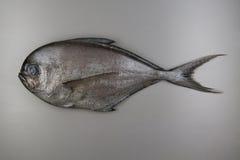 Fish. Atlantic pomfret Royalty Free Stock Photo