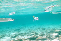 Fish Attack Royalty Free Stock Image