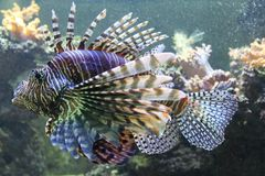 Lionfish. Fish from auarium f Royalty Free Stock Photo