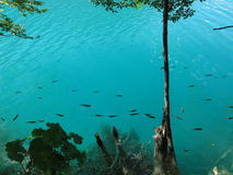 Fish in the azure plitvice lakes Royalty Free Stock Images