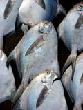 Fish Background. A background of fresh pomfret fish Stock Photography