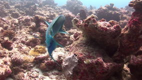 Fish on background colorful corals underwater in sea of Maldives. stock video