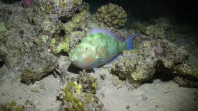 Fish on background of underwater sandy bottom in Red sea. Swimming in world of colorful beautiful wildlife of reefs and algae. Inhabitants in search of food stock video footage
