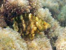 Fish: Ballan wrasse Royalty Free Stock Photo
