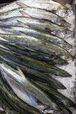 Fish Barracuda Fresh Ice Stock Photo