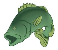 Fish bass. The figure shows fish bass Stock Photos