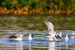 Fish! The battle of gulls. Naivasha lake Royalty Free Stock Image
