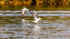 Fish! The battle of gulls. Naivasha lake, Kenya. Royalty Free Stock Photo