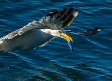 Fish in beak Stock Photography