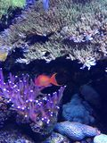 Fish in beautiful aquarium with vibrant anemones. stock images