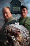 Fish being weighed  Royalty Free Stock Photo