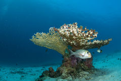 Fish beneath table coral branch.  Royalty Free Stock Photography