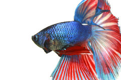 Fish Betta. Betta Half moon Fierce biting blue fish royalty free stock photos