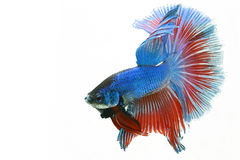 Fish Betta. Betta Half moon Fierce biting blue fish stock photos