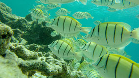 Big group of yellow fish swimming underwater at Maldives royalty free stock images