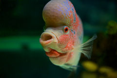 Fish with big head Royalty Free Stock Photos