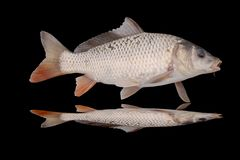 Fish on a black Royalty Free Stock Photography