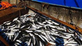 Fish of the Black Sea. Black Sea mullet in a boat stock video footage