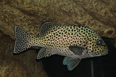 Harlequin Sweetlips Royalty Free Stock Image