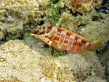 Fish : Blacktip grouper. A Blacktip grouper in a beautiful coral reef in Maldives Stock Photo