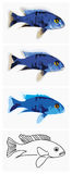 Fish-blue-ahli. An illustration set of a fish - blue ahli. 4 different variation had arranged by complexity of drawing Royalty Free Stock Images