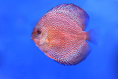 Fish on blue background. A fish is in aquarium with blue background Royalty Free Stock Photos