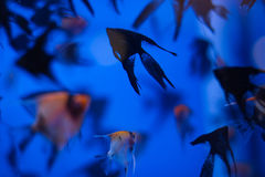 fish blue light under water swarm diving aquarium Royalty Free Stock Image
