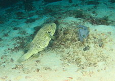 Fish - Blue-spotted puffer royalty free stock images