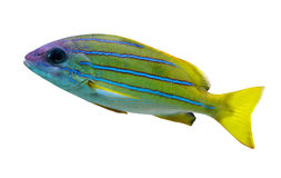 Fish with blue strips Royalty Free Stock Photo