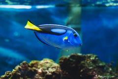Fish blue surgeonfish. Paracanthurus hepatus or blue tang, regal tang, palette surgeonfish Royalty Free Stock Images