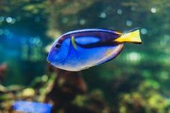 Fish blue surgeonfish paracanthurus hepatus. Or blue tang, regal tang, palette surgeonfish Royalty Free Stock Photo