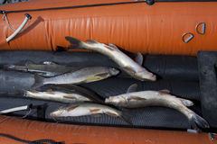 The fish in the boat. Royalty Free Stock Images