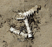 Fish bones. Skeletal remains of a fish, washed up on a beach Royalty Free Stock Image