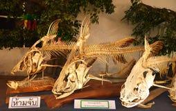 Fish bones Royalty Free Stock Photography
