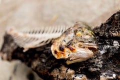 Fish bones of Gilt-head bream - Sparus aurata Stock Photography