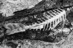 Fish bones of Gilt-head bream - Sparus aurata Royalty Free Stock Photos